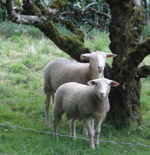 avys,weis,gamta,gyvuliai,du,ganykla