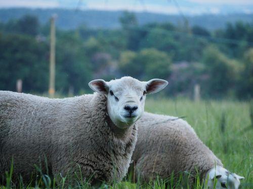 avys,gyvūnai,ūkis,žinduolis,gyvuliai,Žemdirbystė