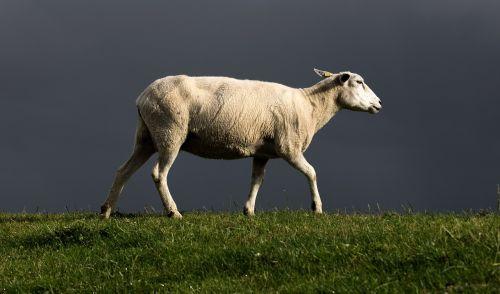 avys,dike,Šiaurės jūra,griauna,gewitterstimmung