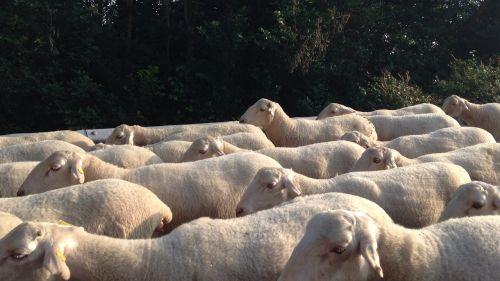 avys,gyvūnai,gyvuliai,flock
