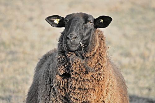 avys, gyvuliai, galva, juoda, valgyti, Halme, maistas, juoda avis, žiemos vilnos, portretas, sheepshead, vilnos, ganykla, gyvūnas, avių vilnos, žinduolis, vilnos avys, gamta, mielas, avių veido, jaunos avys, schafkopf, akis, avių pulkas, žolėdžius, schäfchen, flock, ausys, Žemdirbystė, bandos gyvūnas, pieva, idilija, išvalyti, gyvulių bandas, ganyti, žolė, be honoraro mokesčio