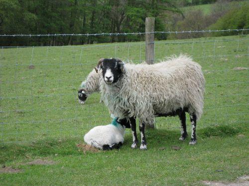 avys,ėriena,gyvūnai,ūkis,vidaus,lauke,ūkio gyvūnai,kaimas,ranča,Naminiai gyvūnai,žemės ūkio paskirties žemė,Žemdirbystė,žinduolis,gyvuliai