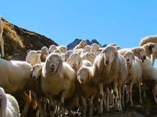 avių, bandos, pulko, gyvūnas, grupė, gyvulininkystė, Ovis, akcijų, ėriukas, vasara, žinduolis, gamta
