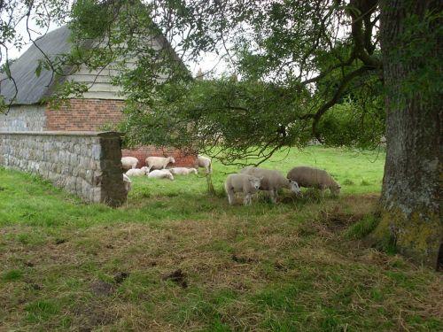 avys,ūkio gyvūnai,ūkis,gyvūnas,žinduolis,ūkininkavimas,kaimas,barnyard,žemės ūkio paskirties žemė,žemės ūkio,Avebury,Wiltshire