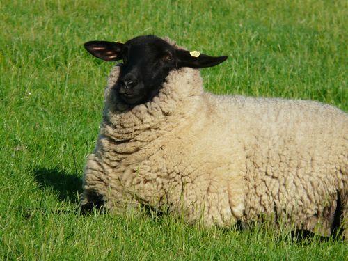 avys,įdomu,vaizdas,Žiūrėti,laimingas,vilnos,rhon avys,dike,pieva,žolė,Šiaurės jūra,kraštovaizdis,idilija,poilsis,atsipalaidavimas,šviežias,Atsipalaiduoti