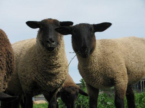avys,ganymas,vilnos,ūkis,ganykla,gyvuliai