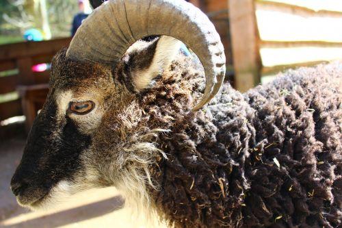 avys, ragai, vilnos, gyvūnas, elnių parkas, aries, galva, kankinti, laukinio gyvenimo parkas, gamta