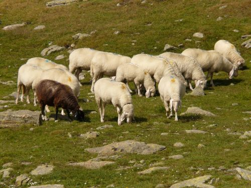 avys,avių pulkas,flock