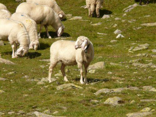 avys,avių pulkas,flock,schäfchen