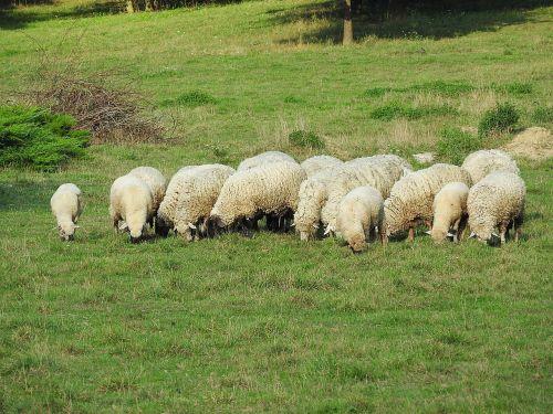 avys,gyvuliai,ganyti,ganykla