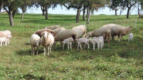 avys,avių pulkas,ganykla,pieva