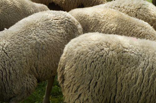avių veisimas,vilnos,kailis,avikailis,vilnos balta,minkštas,Uždaryti,vilnos gamyba,avių pulkas
