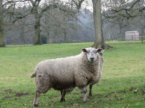 avys & nbsp, laukas, gyvūnai, gamta, avys lauke