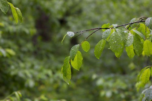 lakštas,žalias,miškas,gamta,žali lapai,žalias lapas,lapai,augalas,žalias fonas,lapija