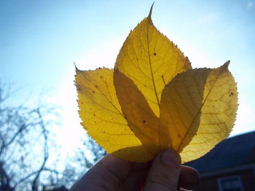 lakštas,ruduo,ąžuolo lapas,geltonas lapas,gamta,informacinis lapelis