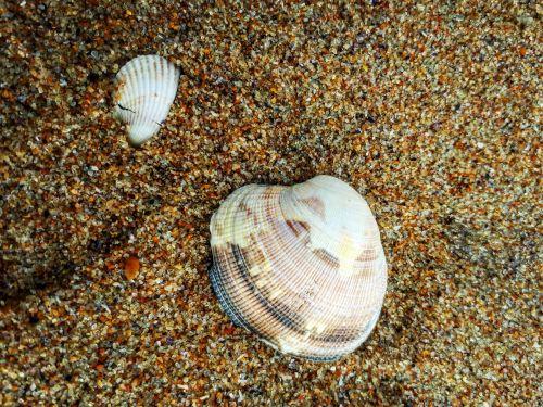 lukštas,clam,smėlis