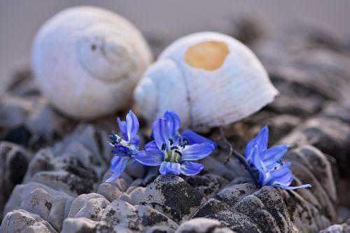 lukštas,palikti,tuščia,tuščia sraigė,sunaikintas,pažeista,akmuo,gėlės,Sibiro blauzdonas,mėlynas,Uždaryti
