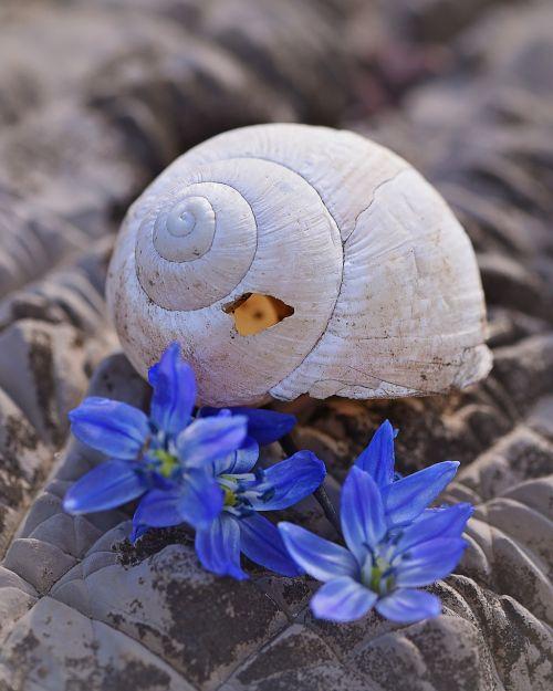lukštas,palikti,tuščia,tuščia sraigė,sunaikintas,pažeista,gėlės,Sibiro blauzdonas,akmuo,Uždaryti