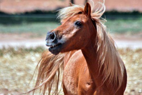 Shetland,kaštonas,ponis,melding,gyvūnas,arklys,arkliai,Žiurkė,uodega,skambinti,gamta