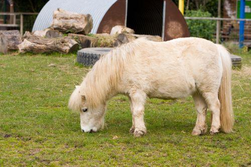 Shetland & nbsp, ponis, ponis, arklys, gyvūnas, mielas, ganymas, valgymas, žolė, lauke, nuotrauka, Shetland ponis