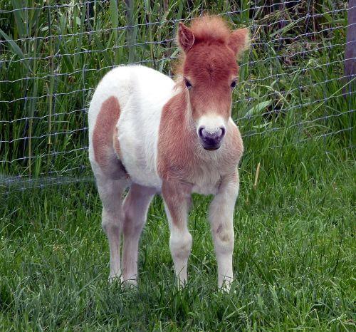 Shetland ponis,kumeliukas,mini ponis,nykštukas ponis,arklių kūdikis,saldus,mielas