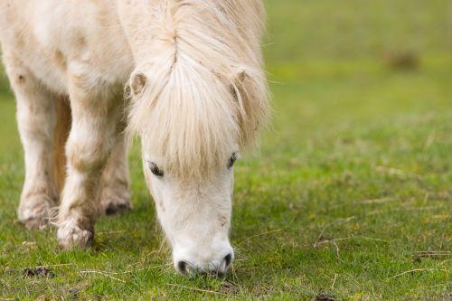 Shetland & nbsp, ponis, arklys, ponis, balta, ganymas, Iš arti, valgymas, žolė, žalias, nuotrauka, vaizdas, arkliai, gamta, lauke, niekas, mielas, Shetland ponis ganymas