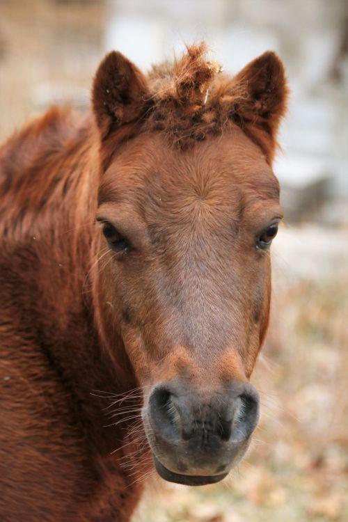 gamta, gyvūnai, augintiniai, arklys, ponis, rudas & nbsp, ponis, mažai & nbsp, ponis, arkliai & nbsp, plaukai, įtemptas & nbsp, plaukai, vienaragis, ragas, Shetland ponis vienaragis