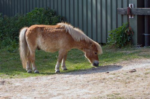 Shetland & nbsp, ponis, ponis, arklys, arkliai, kaštonas, mielas, gyvūnas, Shetland ponis