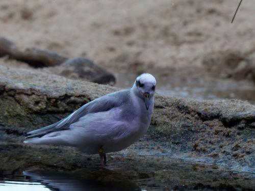 kranto bird, paukštis, potvynis & nbsp, baseinas, smėlis, Iš arti, pilka, smėliukas, sanderling, vandenynas, gyvūnas, vienas & nbsp, paukštis, susiduria su & nbsp, kamera, veidas, banglentininkas žiūri į kamerą