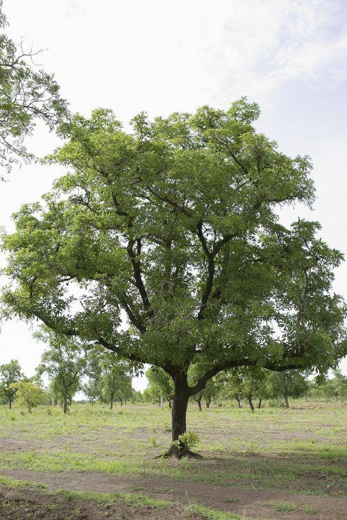 krūmas,medis,žaluma