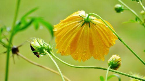 Siera Leonė, gėlė, afrika, lietus, nat, gamta, atogrąžų, žydėti, žiedas, augalas, spalvinga, šviesus, botanika, geltona, gyvas
