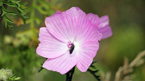 sigmar wurz,Mallow,vabzdys,vasara,žiedas,žydėti,lauko gėlė,gamta,laukinė gėlė,aštraus gėlė,augalas,rožinis,rožinė gėlė,rožinė gėlė su vabzdžiais