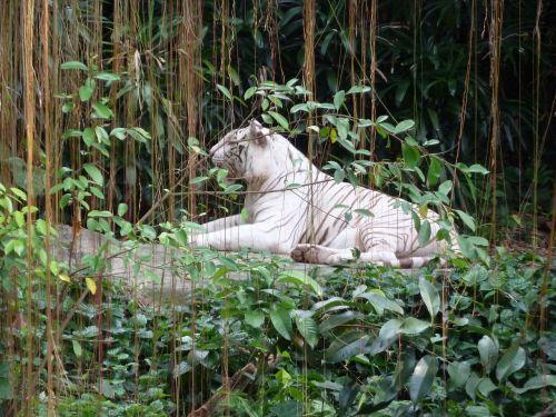 Singapūro zoologijos sode,baltasis tigras,Singarpur,tigras,katė,plėšrūnas,gyvūnų portretas,balta