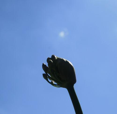 dangus, mėlynas, gėlė, budas, agapanthus, vienas agapanthus pumpuras