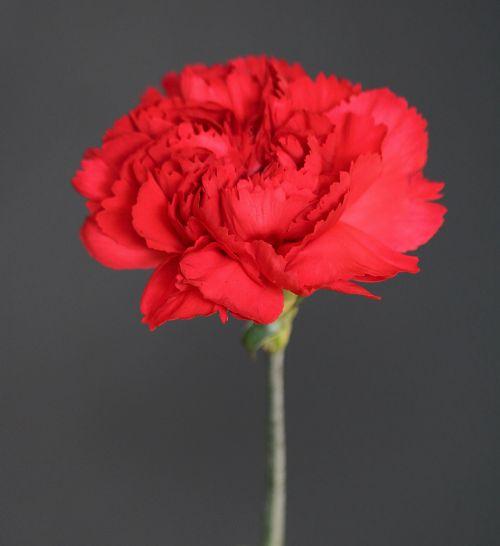 gamta, gėlės, raudona & nbsp, gėlė, gvazdikas, raudona & nbsp, gvazdika, vienas, vienas, vienas & nbsp, gėlė, viena gėlė, žiedlapiai, gėlių & nbsp, žiedlapių, Iš arti, pilka & nbsp, fonas, tvirtas & nbsp, fonas, viena raudona gvazdika
