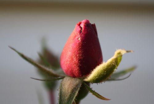 raudona, rožė, budas, vienas, vienas, Iš arti, makro, vienas raudonas rožių pumpuras