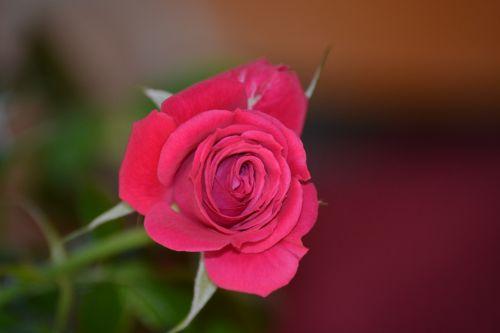 rožė, raudona, rožinis, vienas, viena rožė, gėlė, gėlės, graži, nuotrauka, gražus, atsargos, vaizdas, gamta, augalas, augalai, raudona & nbsp, gėlė, apdaila, laimingas, aukšta & nbsp, kokybė, aišku, hd, naujas, viena raudona rožė nuotrauka