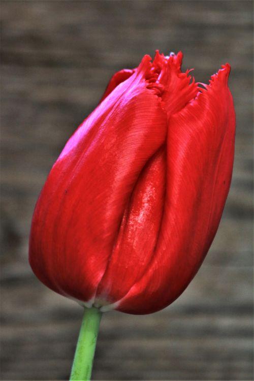 gamta, augalai, gėlės, svogūnėliai, raudona & nbsp, gėlė, tulpė, raudona & tulp, viena gėlė, viena raudona & nbsp, gėlė, viena raudona & nbsp, tulpė, Iš arti, pavasaris & nbsp, gėlė, pilka & nbsp, fonas, meilė, romantika, viena raudona tulpė arti