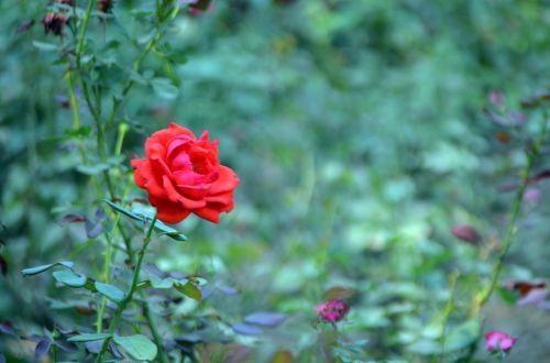 gėlės, gėlė, rožė, sezonas, raudona & nbsp, rožė, vienas, viena rožė, žydėti, žiedas, žiedlapis, viena rožė