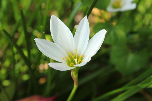balta & nbsp, gėlė, gėlė, vienas, vienintelė & nbsp, balta & nbsp, gėlė, viena gėlė, fonas, tapetai, maža & nbsp, gėlė, gėlė & nbsp, su & nbsp, lapais, lapai, žalios spalvos & nbsp, lapai, viena balta gėlė