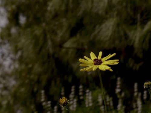 gėlė, geltona, Daisy, izoliuotas, vienas & nbsp, gėlė, viena gėlė, viena geltona ramunėlė laukinės spalvos