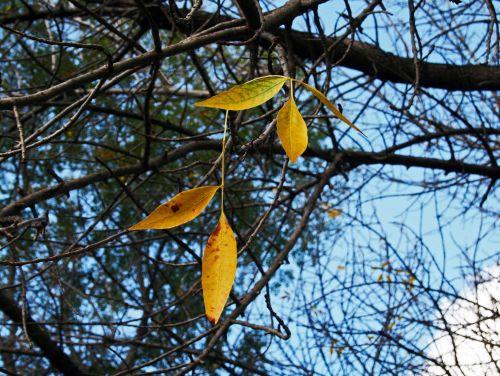 lapai, lieknas, lieknas, geltona, šakelės, sezonas, ruduo, vieni geltoni lapai
