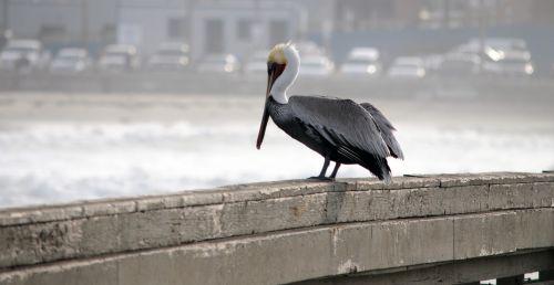 pelican, paukštis, paukščiai, prieplauka, sėdi, plunksnos, vandenynas, jūra, papludimys, sėdi pelikanas