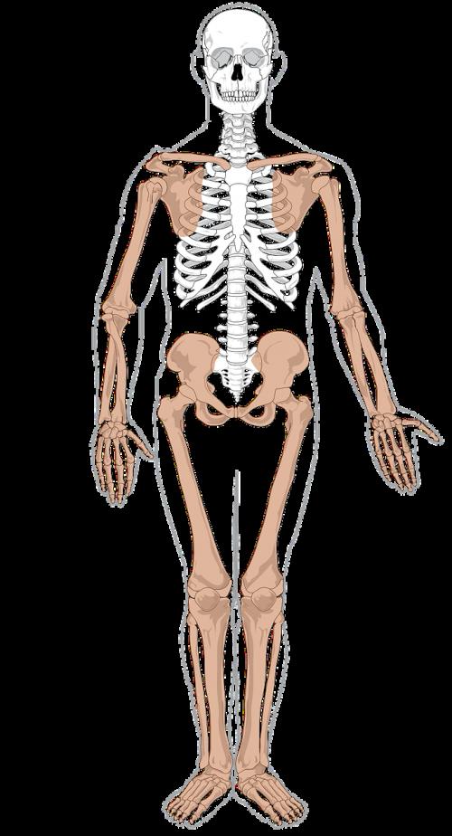 skeletas,anatomija,medicina,biologija,žmogus,galūnės,nemokama vektorinė grafika