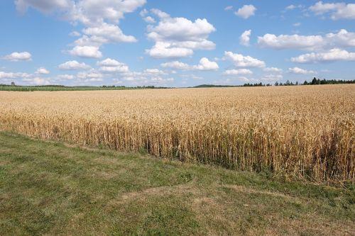 dangus,rugių laukas,kraštovaizdis,vaizdingas,kvieciai,grūdai,kukurūzų laukas,vasara,debesys,Žemdirbystė,laukas,ariamasis,auksinis,saulė,aukso geltona