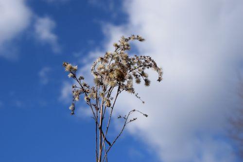 dangus, sprigas, sausra, augalas