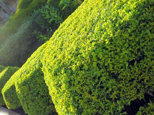 krūmai, žalias, šviesus, Apkarpyti, erškėtis, formos, pasvirusi formos gyvatvorė