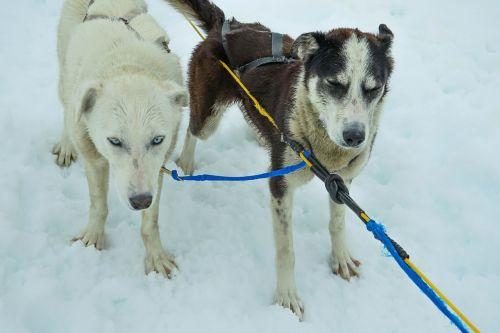sledžių šunys,alaska,šunų keltuvai,kelnės,šunys,keltuvu,sniegas,traukimas,šunys,komanda