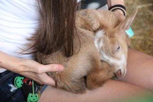 miegantis ožys,šviesiai ruda,ožka,balta,gyvūnas,ruda,kailis,ūkis,natūralus,vasara,ūkininkavimas,gyvuliai,kaimas