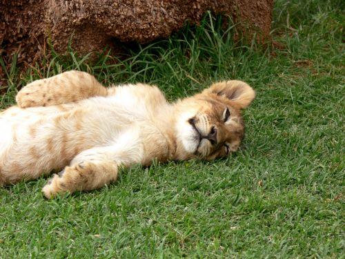 miega, liūtas, Cub, aukštyn & nbsp, žemyn, didelis & nbsp, katinas, leo, laukinė gamta, atsipalaidavęs, Dozing, miegantis liūtas